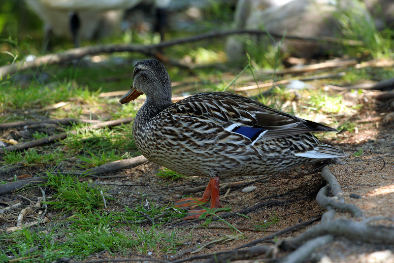 Life at the duck pond, Brook Road, Westhampton Beach, NY.
