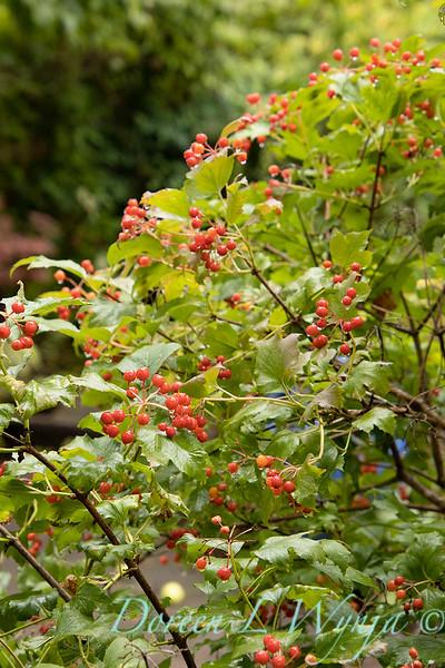 Viburnum opulus 'Compactum' with berries_2674.jpg