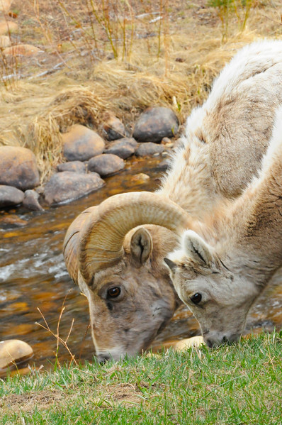 big horn sheep and yearling.jpg