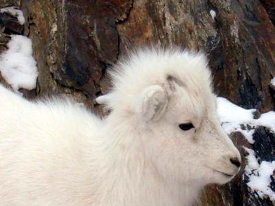DALL SHEEP #04