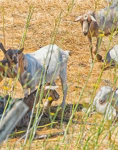 San Rafael Fire  Prevention Goats