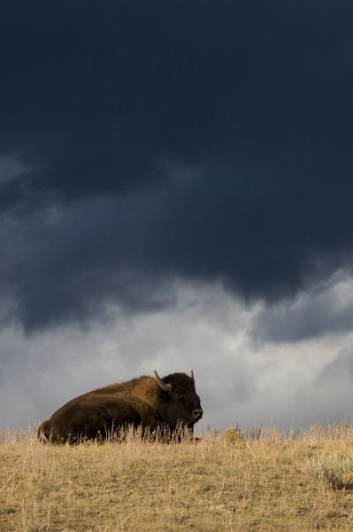 A Bison sits beneath threatening storm clouds in the Lamar Valley [October; Yellowstone National Park, Wyoming]