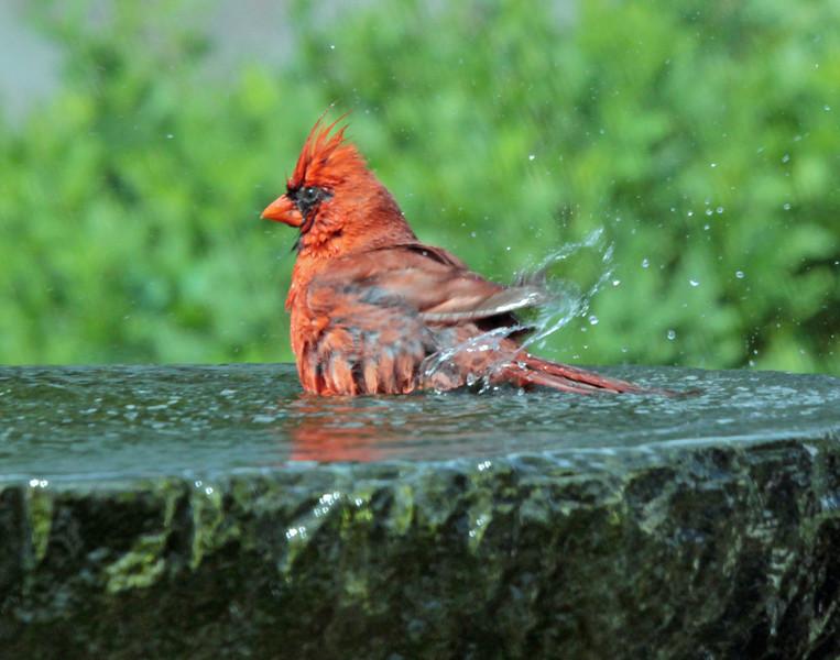 Bathing cardinal 1