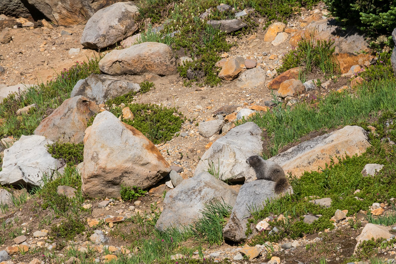 One of many marmots on the mountain side