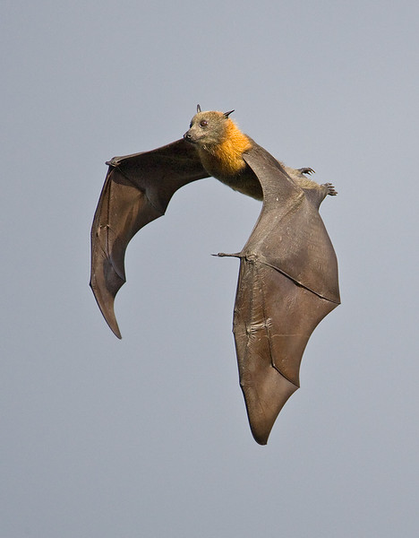 Grey-headed Flying Fox.jpg