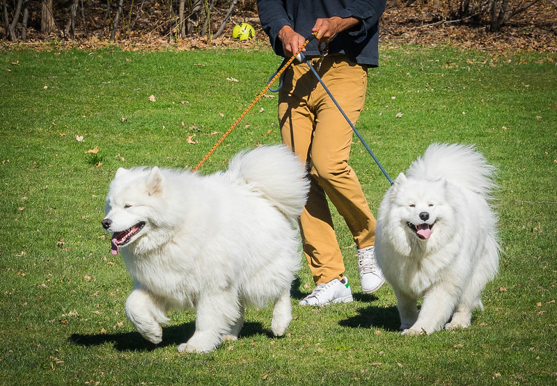 animals_mbs_ pair of samoyeds.jpg