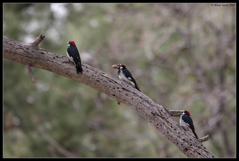 Acorn Woodpecker trio with different actions to store acorn, Cuyamaca Rancho State Park, San Diego County, California, March 2010