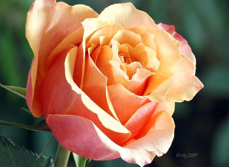 Flower_Rose_Peach_0536w.jpg