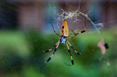 Bananna Spider in the Yard