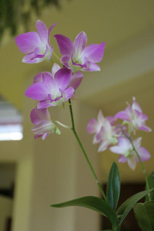 Orchid, Maui Prince Lobby