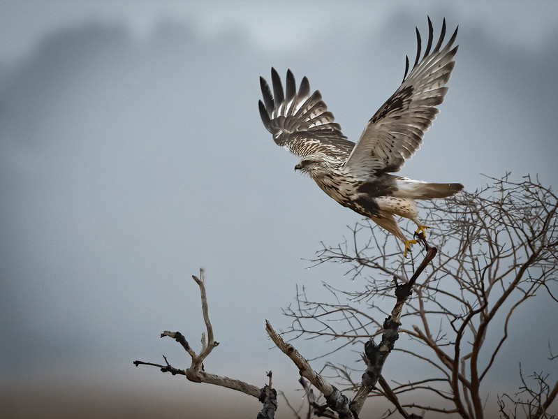 Rough-legged Hawk take off horizontal