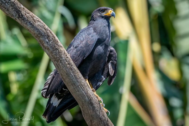 Black Hawk - Costa Rica