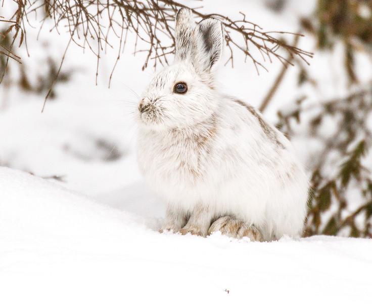 Snowshoe Hare Warren Nelson Memorial Bog Sax-Zim Bog MNIMG_0710.jpg