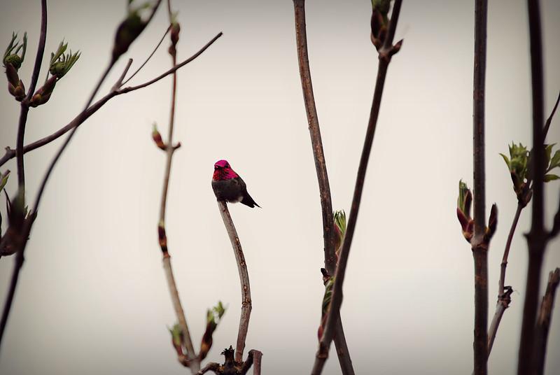 Anna's Hummingbird, WA