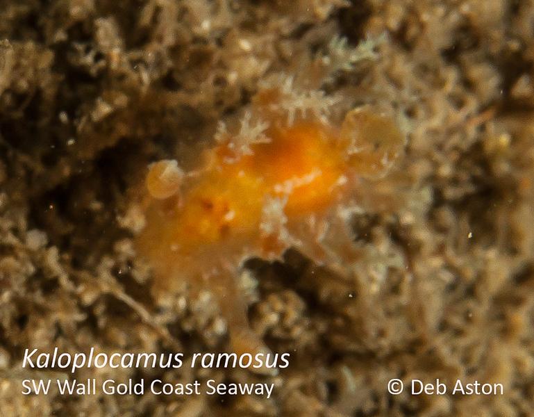 Kaloplocamus ramosus