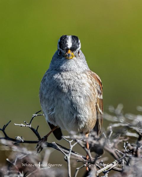 _DSC5434hite-crowned Sparrow.jpg