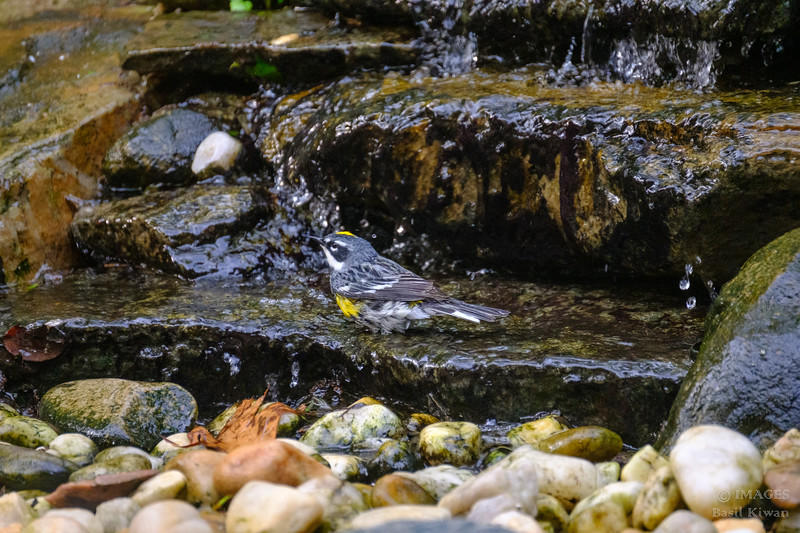 Yellow Rumped Warbler Bathing