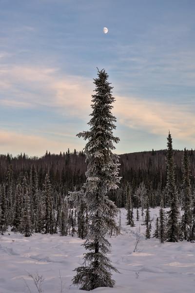 Moon Spruce