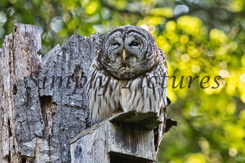 Owl  (31)