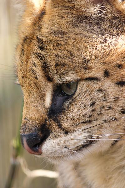 Jane L ~ Eurasian Lynx.jpg