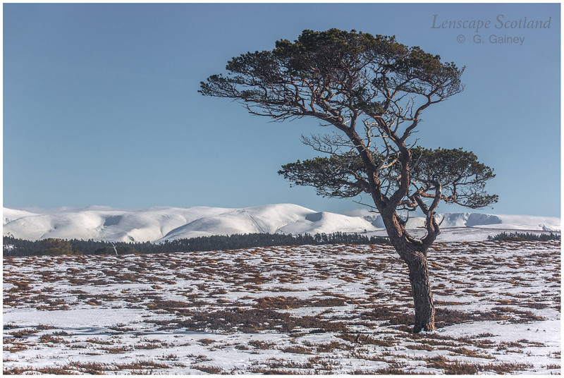lone pine tree, Kinveachy Forest, Spey valley