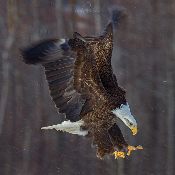 sm eagle_M4D3220d.jpg