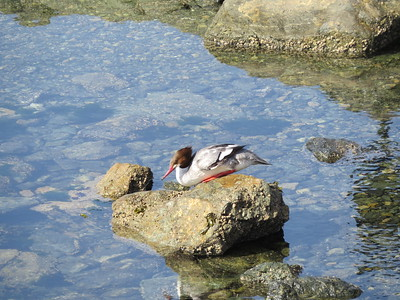 Shore birds and Ducks
