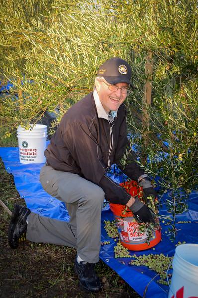 Harvesting Olives