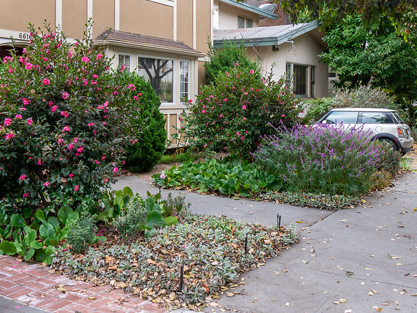 30 October 2017.  Nice from this side too, although perhaps the impact is a bit less.  The Camellias and Salvia are colorful.  The Bergenia foliage works well from this angle (less so from others).  That big swath of Staychs (lamb's ears) needs something more though, and those overhead sprays distract.