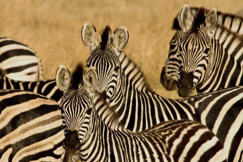 Zebra5.jpg