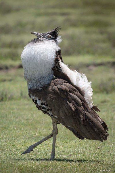 Kori Bustard (male displaying)