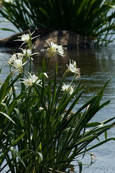 Lilies 4.jpg