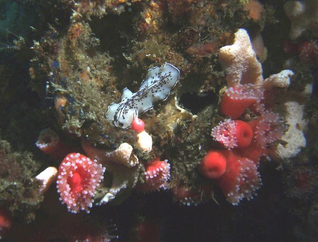 Phil Garner Pseudoceros montereyensis Wreck of the Olympic II off San Pedro June 16, 2007 Fuji E900