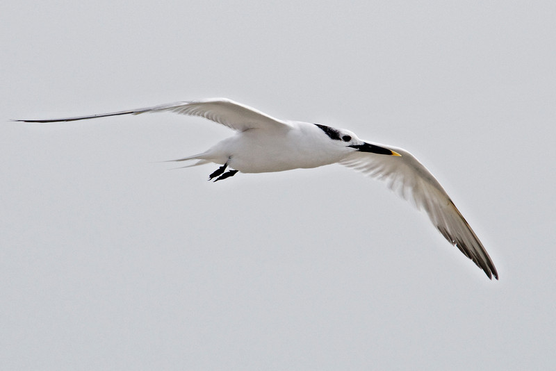 Tern - Sandwich - Blind Pass - Sanibel Island, FL - 02