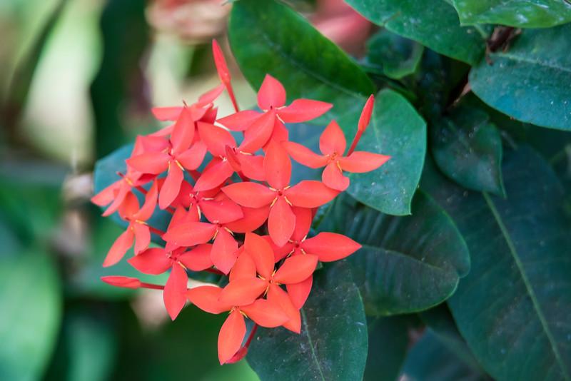 Jungle Geranium - (Ixora coccinea) - Labadee, Haiti-