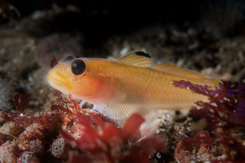 Black-eyed Goby (Rhinogobiops nicholsii), Channel Islands, CA