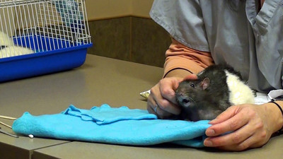 Mouth Breathing in Pet Rats