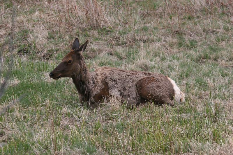 female elk (have white rears)