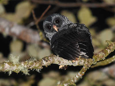 San Ysidro Owl