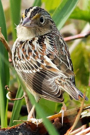 Grasshopper Sparrows