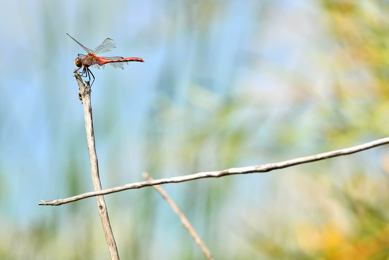 Red Dragon Fly4Original-002.jpg