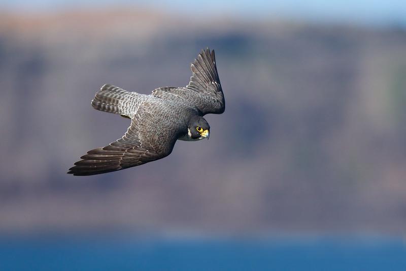 Peregrine Falcon 15.jpg