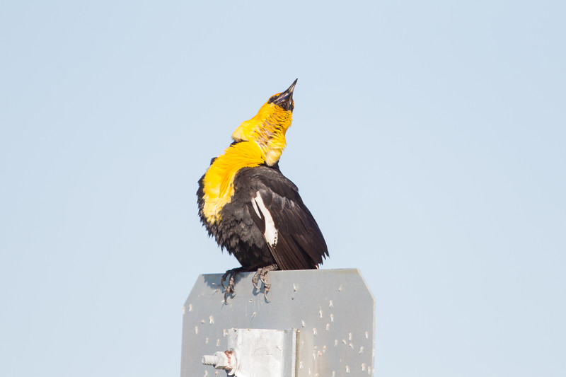 Yellow-headed Blackbird calling - Marble Hot Springs, Sierra Valley, CA, USA