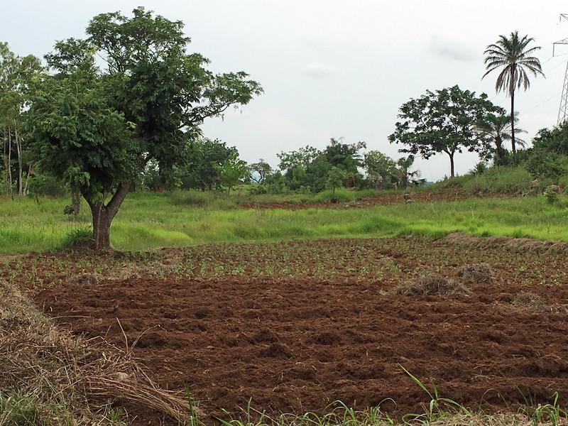 TChow farm 2.jpg