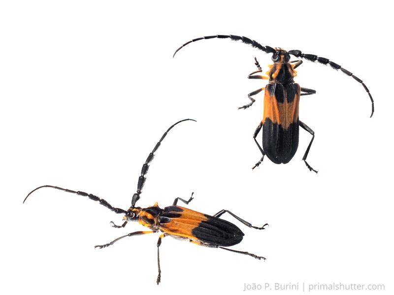 Longhorn beetle (Batus hirticornis) Atlantic forest Piedade, Brazil November 2013