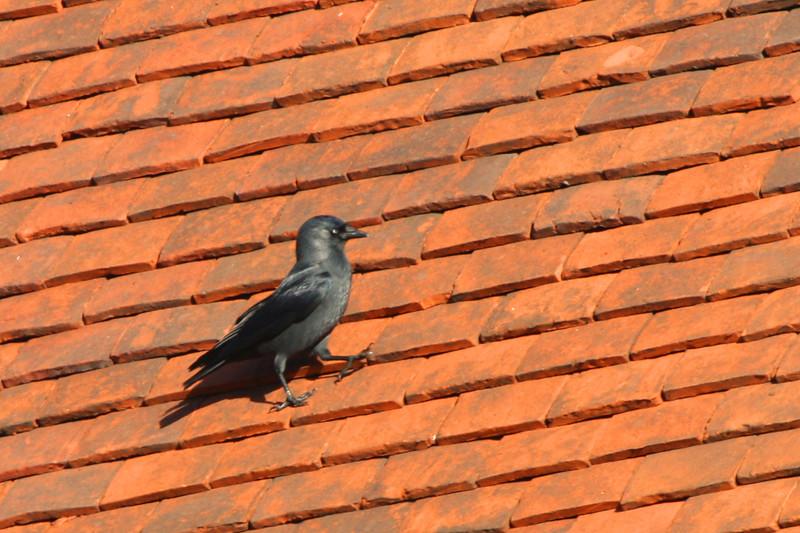 Jackdaw on a Hot Tile Roof.jpg