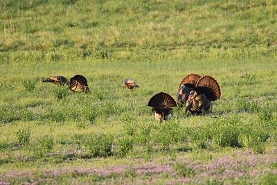 Turkey Toms