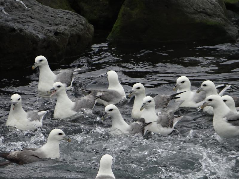 Northern Fulmar, Húsavík