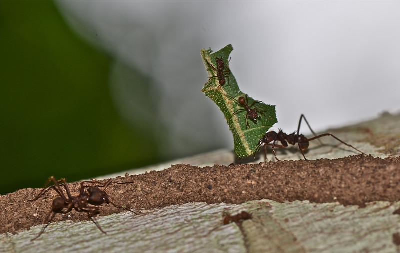 Leaf Cutters Ants