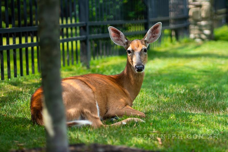 DSC02706 - deer.jpg
